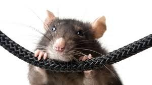ratcable